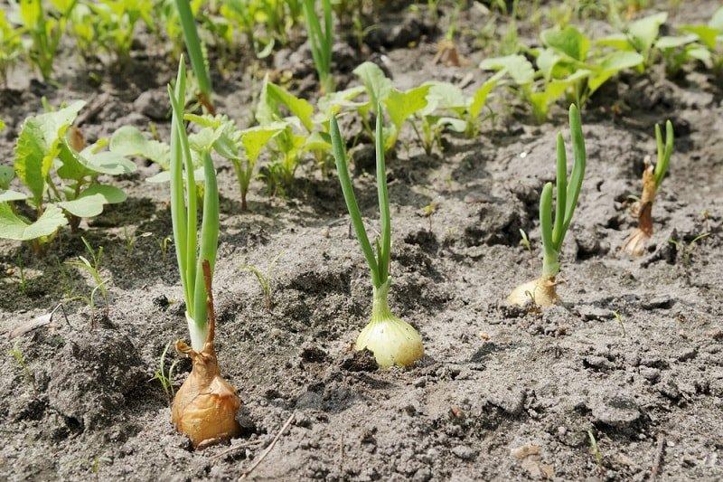 Зачем замачивать лук-севок в содовом растворе