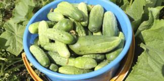 Как укрепить огуречные плети и какие удобрения использовать при выращивании огурцов