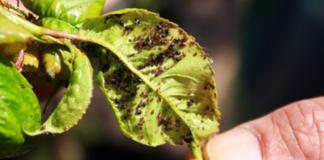 Тля — гроза садов и огородов. Как защитить молодые побеги и листья растений от вредителя.