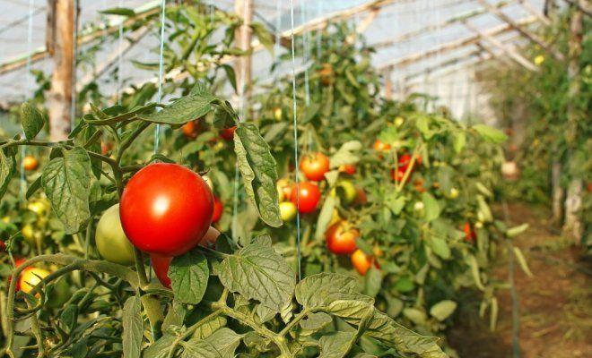 Выращивание помидоров в теплице – секреты обильного урожая