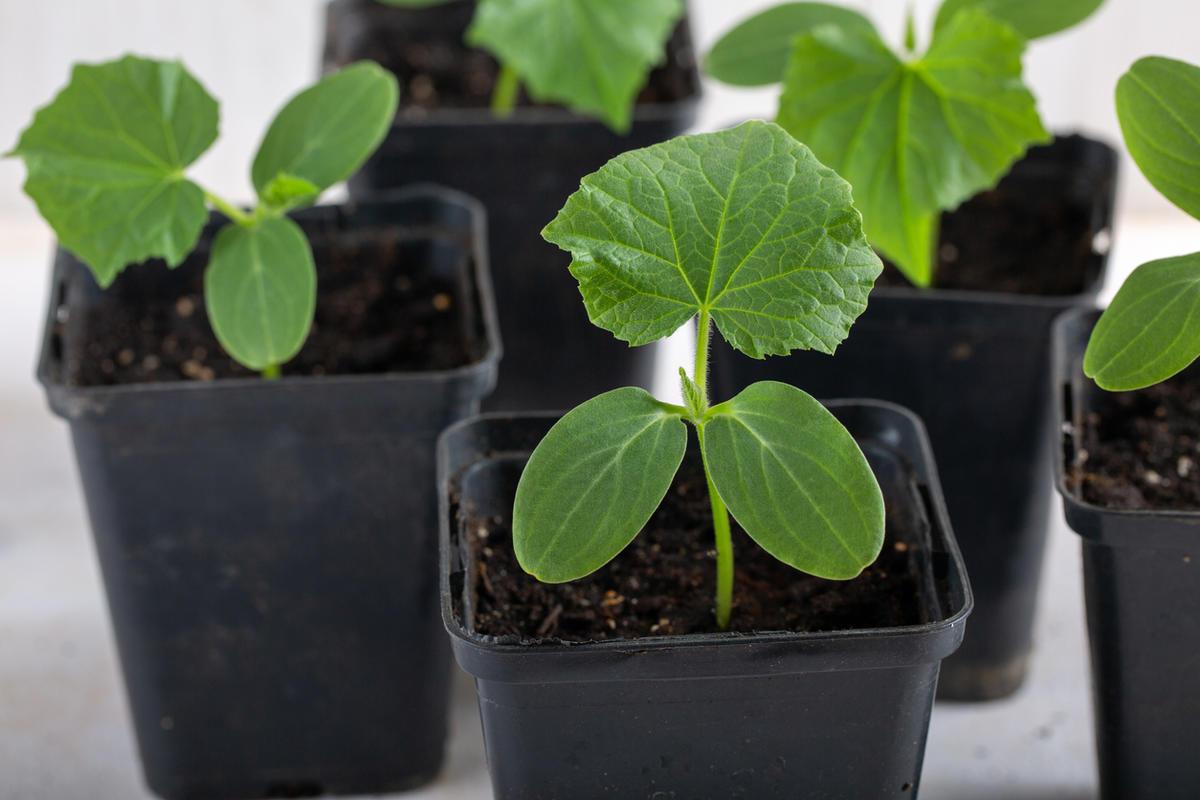 Как вырастить отличную рассаду огурцов. Советы от Юлии Миняевой.