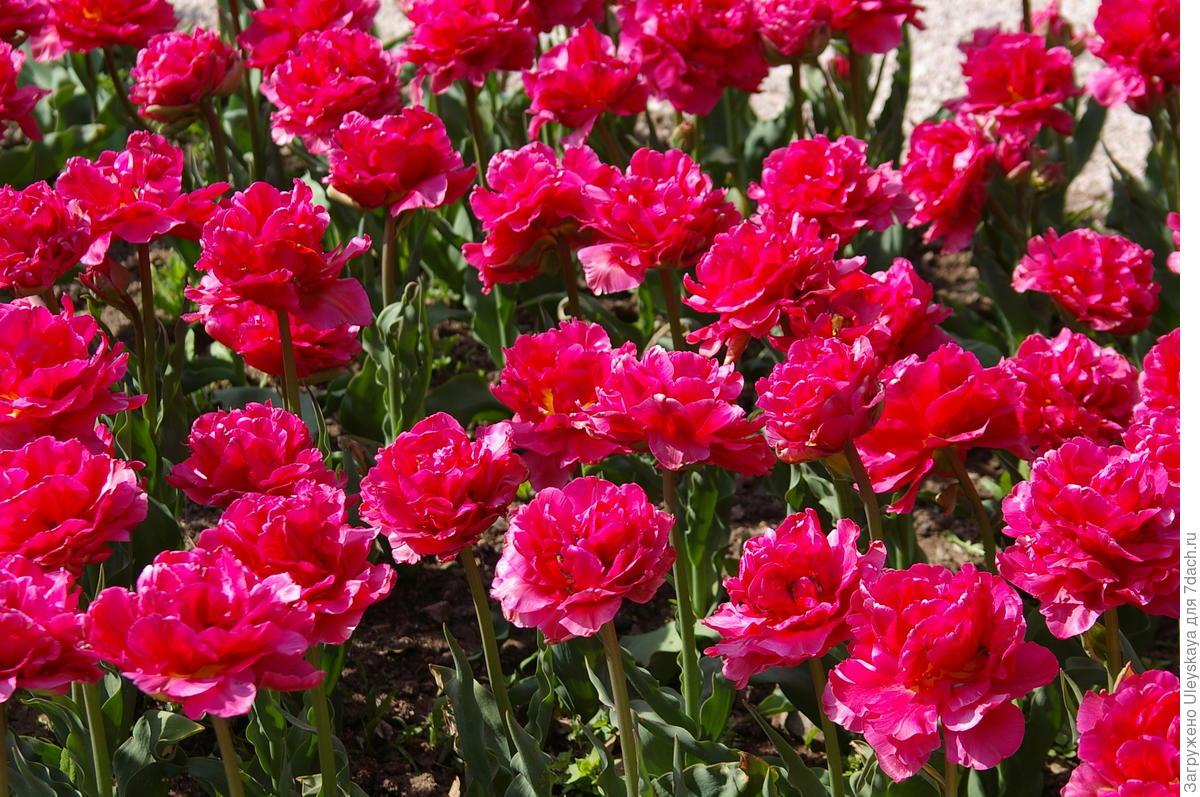Махровые тюльпаны: подборка самых эффектных сортов