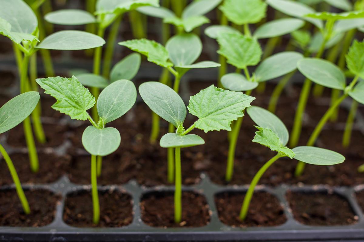 Секреты раннего урожая огурцов