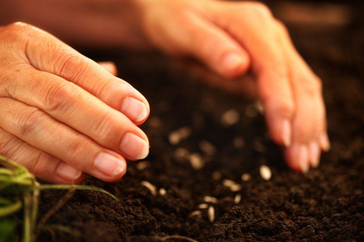 Метод посадки огурцов в горячие опилки для отменного урожая