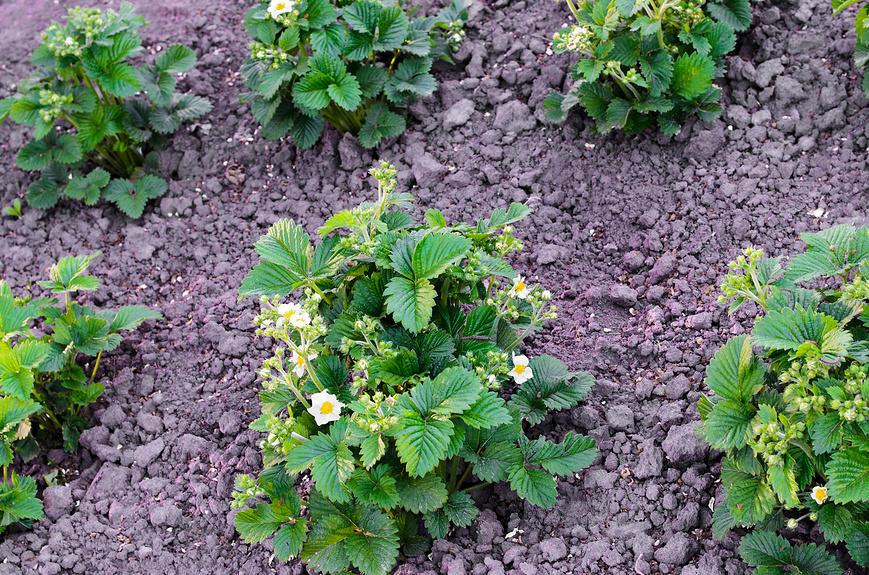 Подкормки садовой земляники весной: виды удобрений и сроки внесения