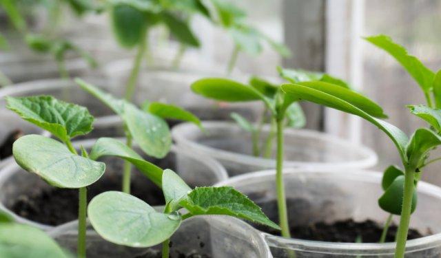 Когда можно сажать огурцы, тыкву и кабачки – вычисляем оптимальные сроки