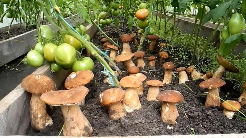 Как выращивают белые грибы на подоконнике. Подробный инструктаж.