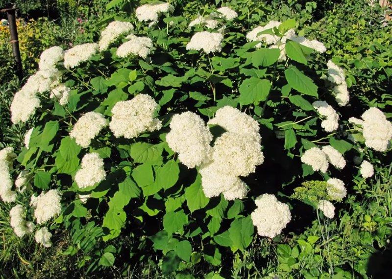 Десять неприхотливых кустарников для сада