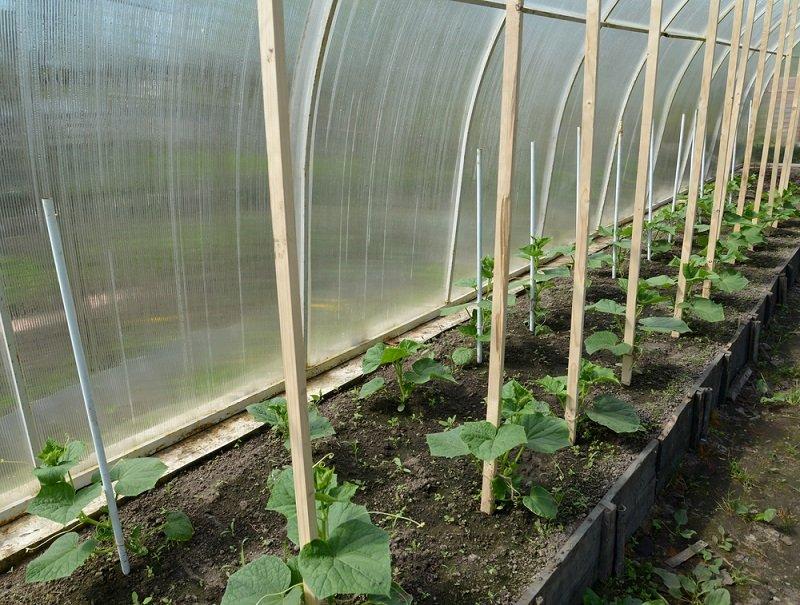 Что нужно знать начинающему дачнику о посадке и выращивании огурцов