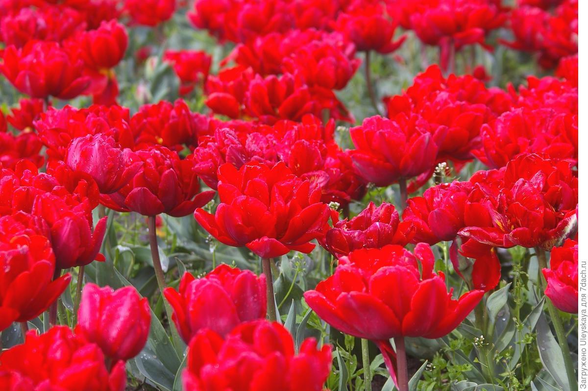 Тюльпаны с изюминкой: махровые, попугайные и другие редкости