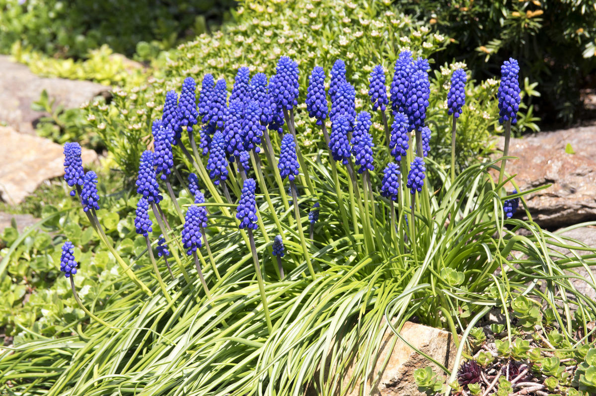 Синее-синее море: 10 идей с мускари для вашего сада