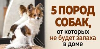 Подборка чистоплотных пород собак для дома