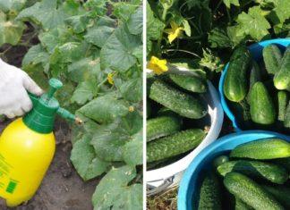 Эффективные советы, как вырастить огурцы вкусными и здоровыми