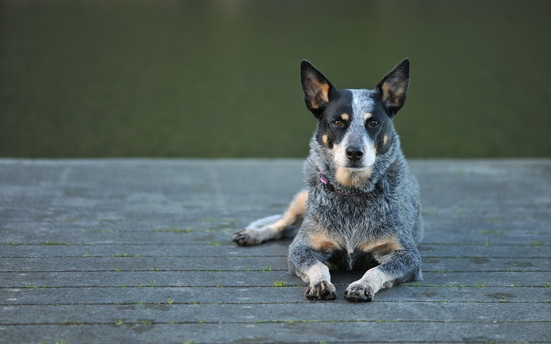 Рейтинг пород собак по сообразительности