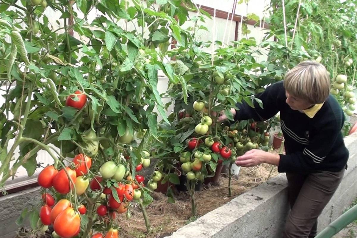 Почему опытные огородники охотятся за луковой шелухой