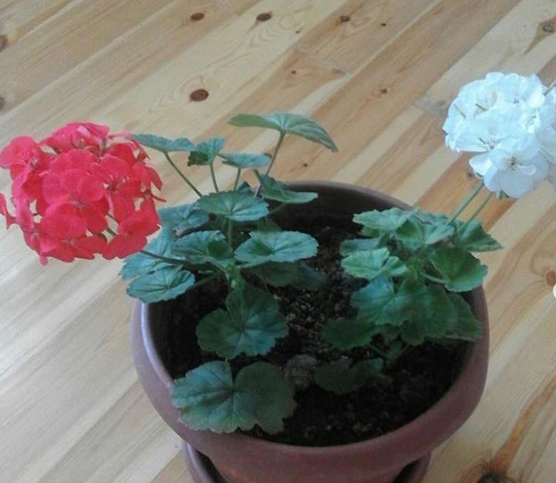 При каких условиях герань цветет обильно всё лето