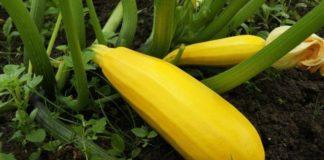 Выращивание кабачков на участке – о чем нужно знать?